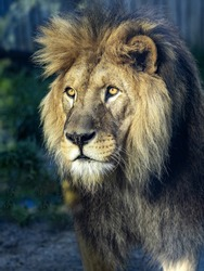 Portrait of a beautiful big male Barbary the Lion, Panthera leo leo