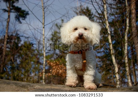 Stock Photo Portrait of a beautiful bolognese dog