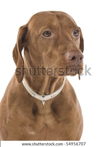 Portrait of a beautiful brown dog. Isolated on white background.