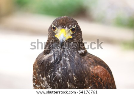 portrait of a beautiful brown falcon bird isolated