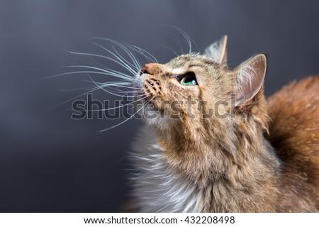 portrait of a beautiful cat - Shutterstock ID 432208498