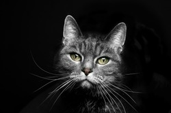 portrait of a beautiful cat on a black background