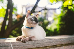 Portrait of a beautiful cat on leashes in the summer garden. Pets walking outdoor adventure in park. young cat, Siamese type, Mekong bobtail outdoors. two color cat without tail Mekong Bobtail breed.