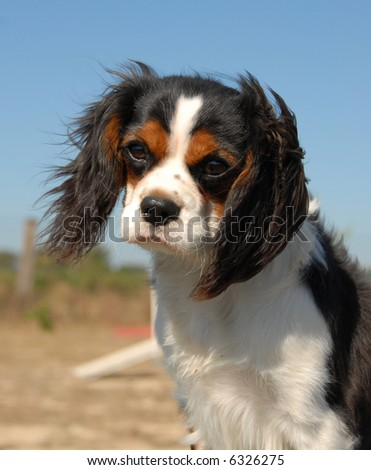 portrait of a beautiful cavalier king charles: cute little dog