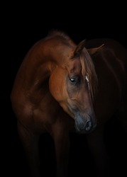 Portrait of a beautiful chestnut arabian horse look back isolated on black background, head closeup