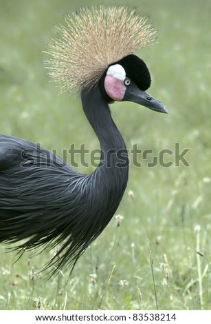 Portrait of a beautiful crowned crane