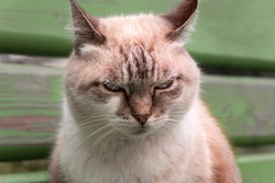 Portrait of a beautiful dissatisfied cat close up. Domestic animal.
