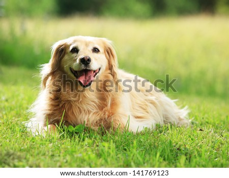 Portrait of a beautiful dog on meadow - stock photo