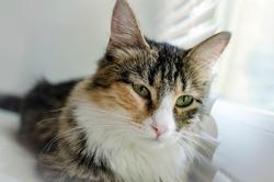 Portrait of a beautiful domestic cat, close-up.