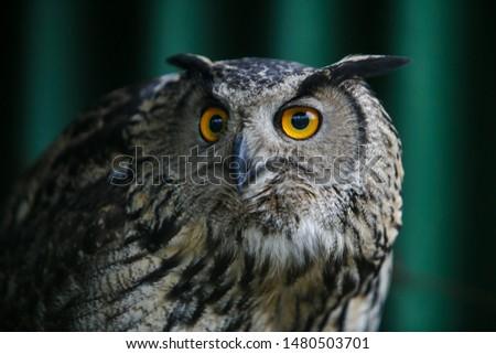 Portrait of a beautiful eagle owl #1480503701