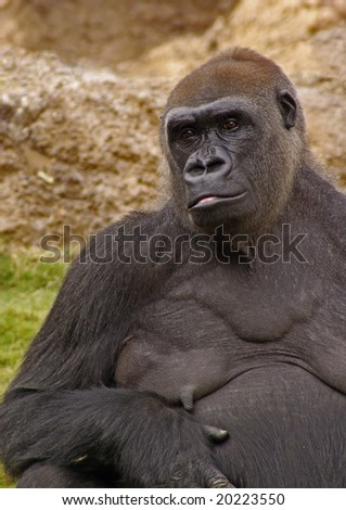 Portrait of a Beautiful Female Gorilla
