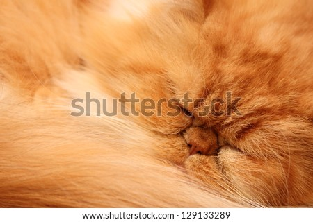 portrait of a beautiful fluffy cat closeup