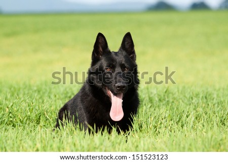 Portrait of a beautiful german shepherd or alsatian dog