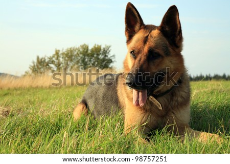 Portrait of a beautiful german shepherd or alsatian dog lying in the grass  and observation.