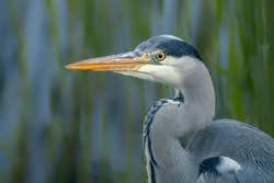 Portrait of a beautiful Grey Heron (Ardea cinerea). Green and blue background.