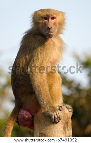Portrait of a beautiful Hamadryas Baboon stairing towards the camera