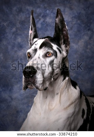 Portrait of a beautiful Harlequin Great Dane