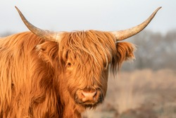 Portrait of a beautiful Highland Cows cattle (Bos taurus taurus) grazing in field. Veluwe in the Netherlands. Scottish highlanders in a natural  landscape. A long haired type of domesticated cattle.