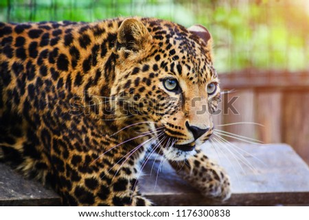 Portrait of a beautiful leopard #1176300838