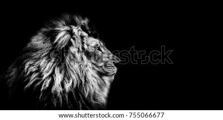 Portrait of a Beautiful lion, Cat in profile, lion in dark. Asiatic Lion #755066677
