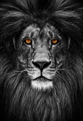Portrait of a Beautiful lion, lion in dark. Intense fiery gaze.
