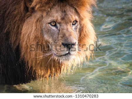 Portrait of a beautiful lion standing in water in a pond with water dripping doen its beard Stockfoto ©
