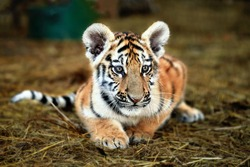 Portrait of a beautiful little tiger cub at the zoo, close up