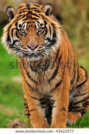 Portrait of a beautiful male Sumatran tiger in a reserve of endangered species