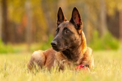 Portrait of a beautiful Malinois Belgian Shepherd dog while lying on the grass on a sunny day.