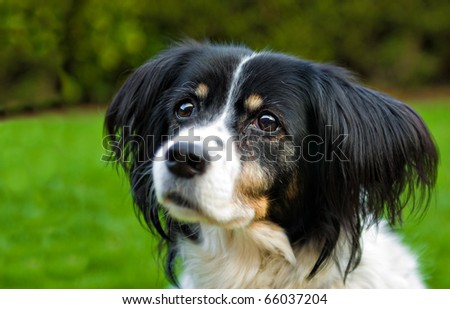 portrait of a beautiful mixed breed collie/spaniel dog