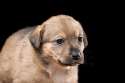 Portrait of a beautiful puppy on a black background. Horizontally framed shot.