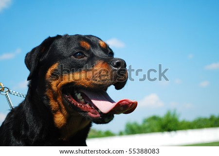 portrait of a beautiful purebred rottweiler with blue sky behind