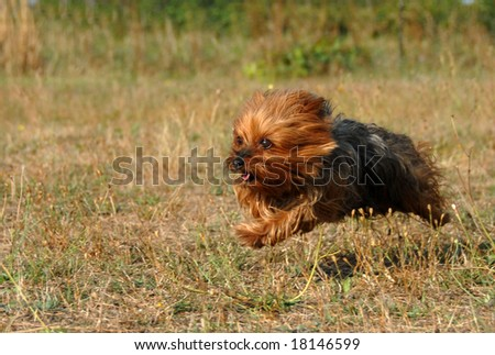 portrait of a beautiful purebred running yorkshire terrier #18146599