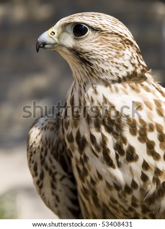 Portrait of a beautiful raptor or bird of prey