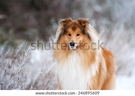 Portrait of a beautiful red fluffy dog collie on the background of the winter forest. Dog standing on the grass covered with frost