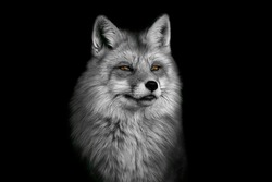 Portrait of a beautiful red fox with thick fur on a contrasting black background in black and white format