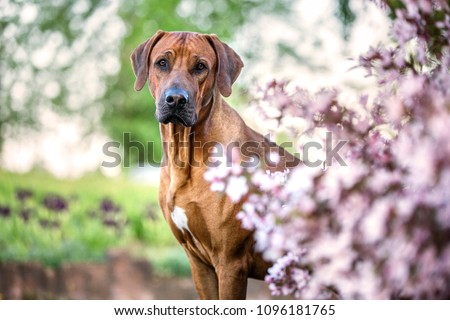 Portrait of a beautiful rhodesian ridgeback dog. #1096181765