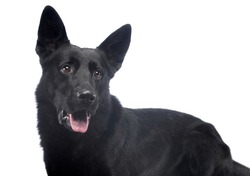 Portrait of a beautiful shepher dog with black fur looking satisfied