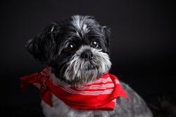 Portrait of a beautiful shih tzu dog