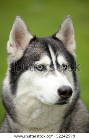 Portrait of a beautiful Siberian Husky on green