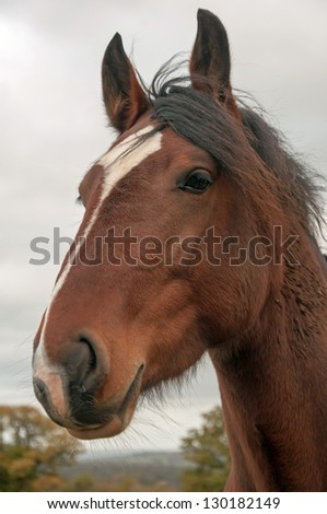 Portrait of a beautiful Welsh Section D Horse