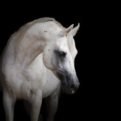 Portrait of a beautiful white arabian horse with long mane on black background isolated