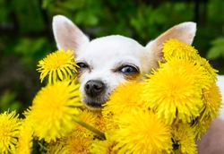 Portrait of a beautiful white dog Chihuahua breed which, covering her eyes, looks out from a large bouquet of yellow dandelions