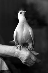 Portrait of a beautiful white dove
