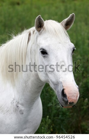 Portrait of a beautiful white horse with pink nose