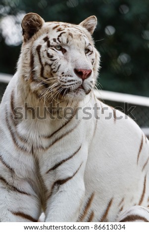 Portrait of a beautiful white tiger