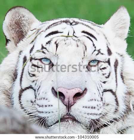 portrait of a beautiful white tiger outdoor