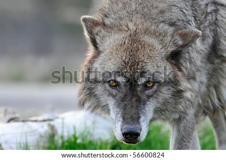 Portrait of a beautiful wolf looking at you