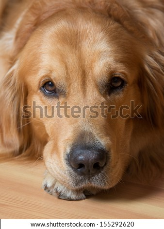 Portrait of a beautiful young dog - golden retriever #155292620