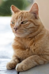 Portrait of a beige and red cat with green eyes and an elongated blotchy muzzle, lying in Sphinx pose on a concrete floor